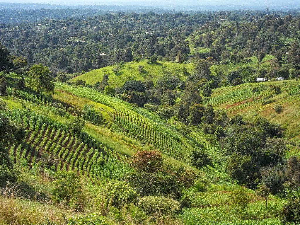Bamougong, Ouest Cameroun Cultures en billons