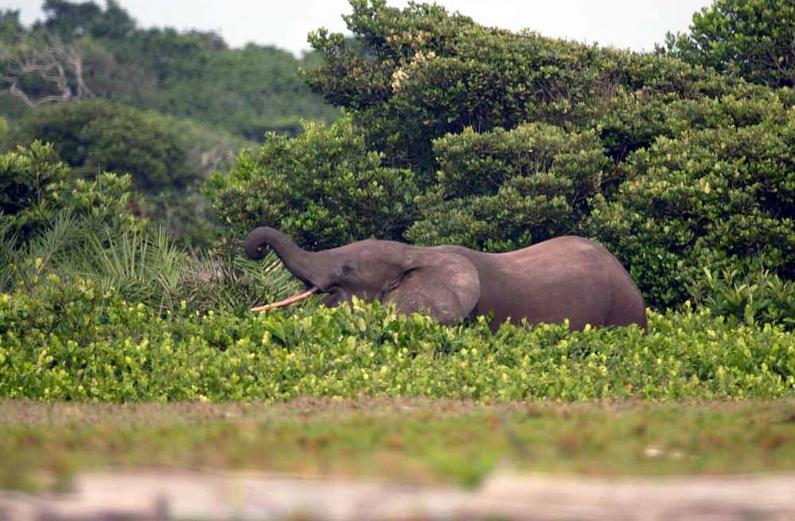 Forest elephant by the beach Loango National Park in Gabon