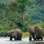 Elephants du Gabon